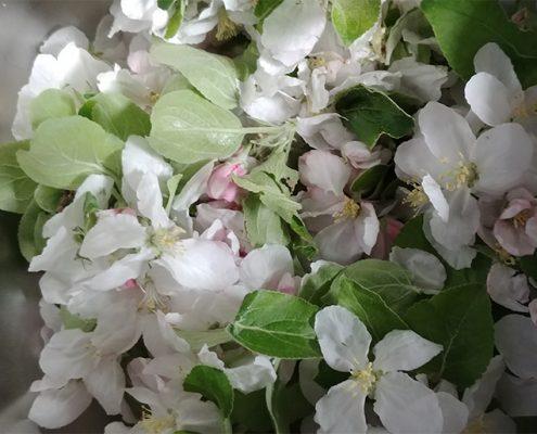 Apfelblüte auf Meyers Keller