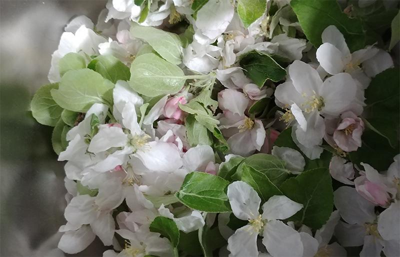 Genuss-Werkstatt im Mai: Apfelblüten einlegen!
